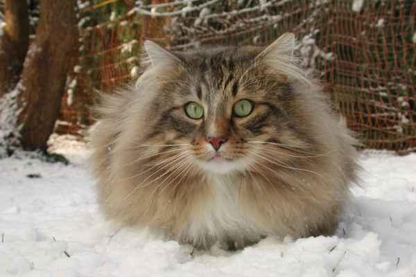 Rassebeschreibung Der Norwegischen Waldkatze